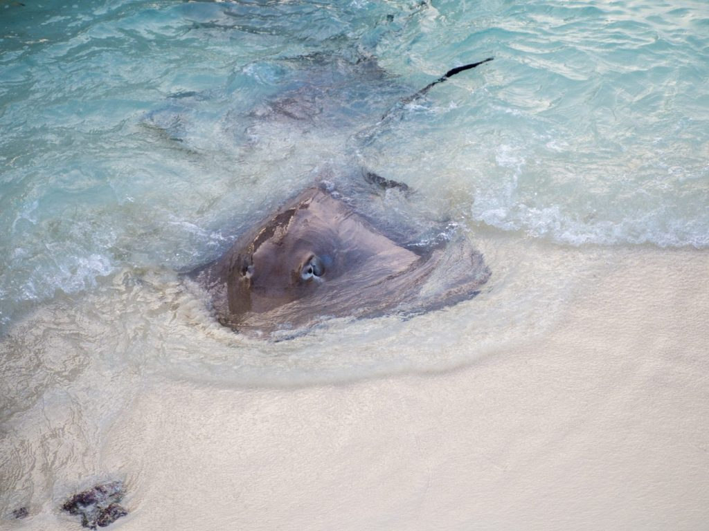 taj-exotica-maldives-stingray-feeding