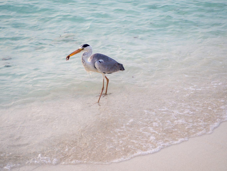 taj-exotica-maldives-stingray-feeding-bird