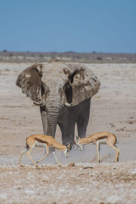 African Safaris How to Go Luxury for Less animal fight