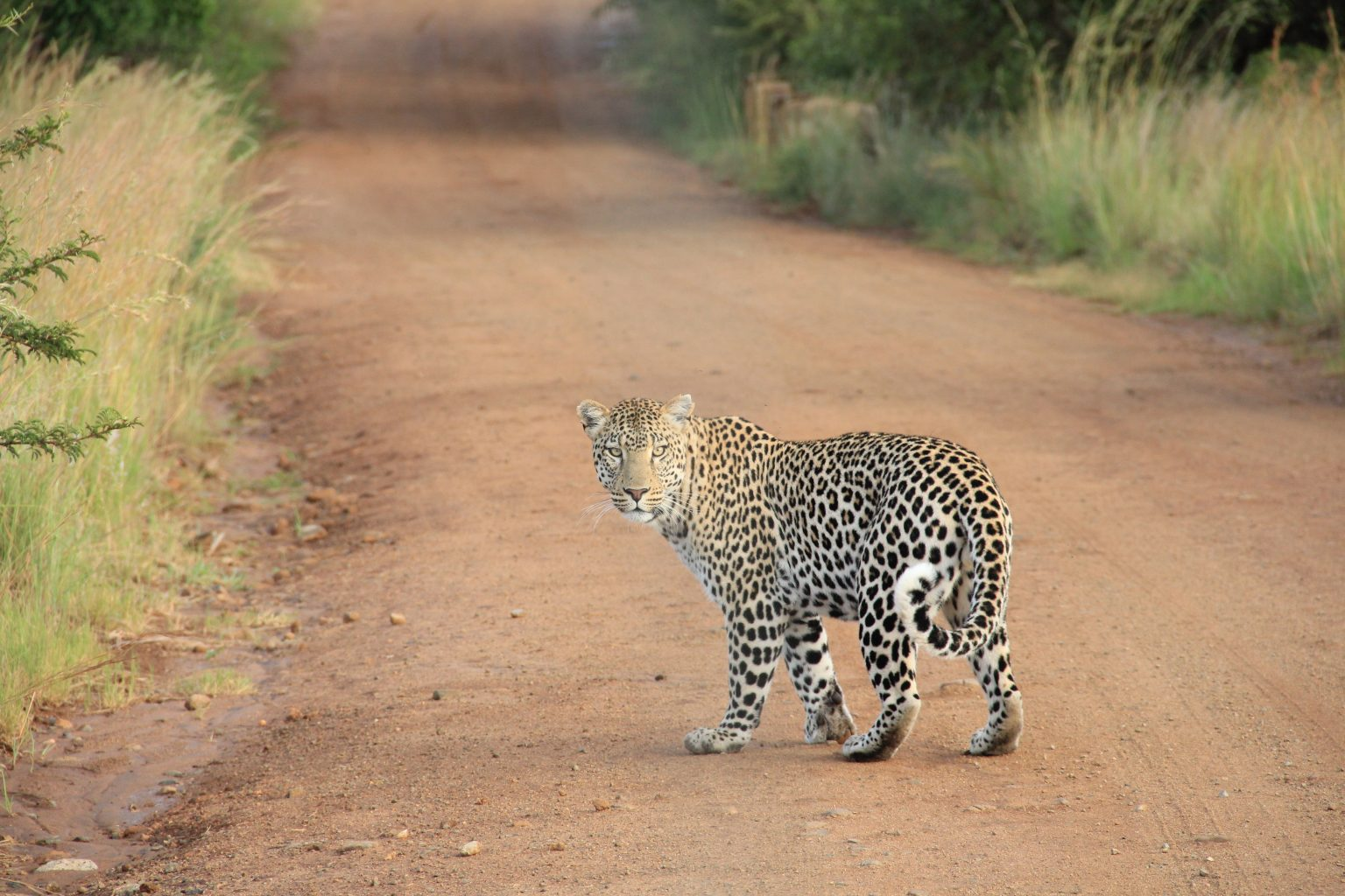 African Safaris How to Go Luxury for Less leopard