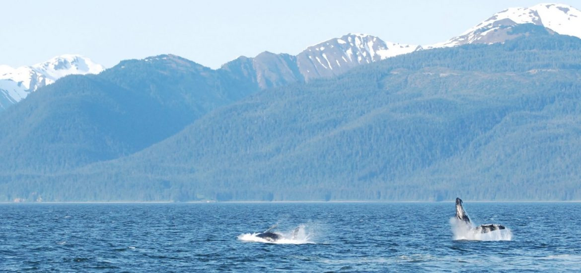 two breaching humpback whales in Alaska, sarah johnson, student travel series