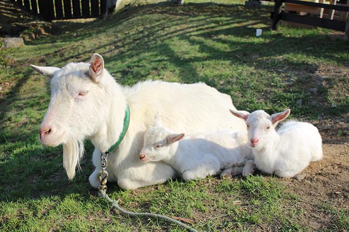 Noboribetsu Date Jidaimura (Ninja Village) goat family