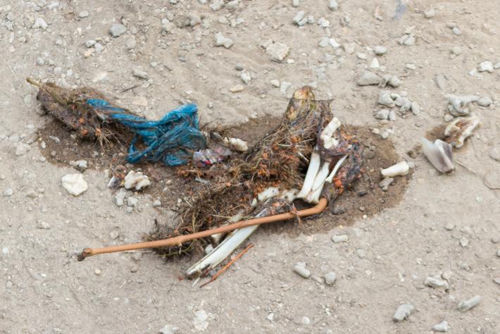 carcass-prey-Komodo-Dragon-national-park-flores-indonesia