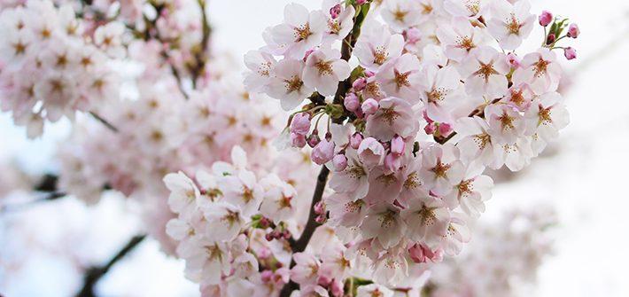 goryokaku cherry blossom sakura Hakodate & Toya - 6-Day South Hokkaido Itinerary