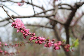 sakura cherry blossom sapporo hokkaido