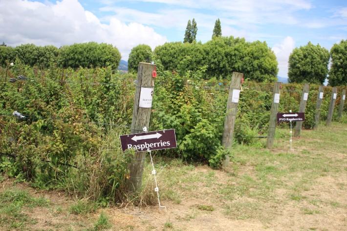 Tasman Bay Berries pick your own berries, Great Taste Trail Nelson, New Zealand