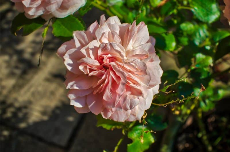 rose, how to create HDR photos
