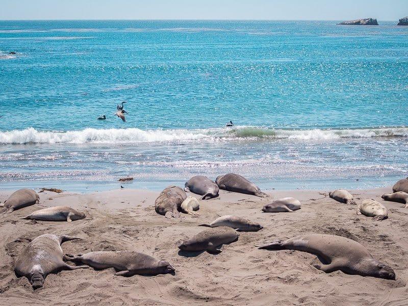 elephant seal, san simeon, What-to-do-in-Cambria-California-USA