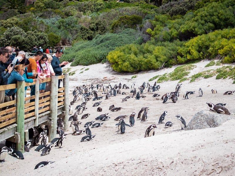 boulders-beach-penguins-Cape-Town-South-Africa